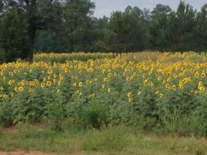 Sunflower field planting